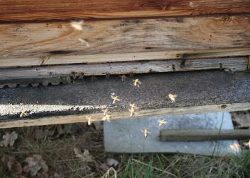 Eingang in den Bienenstock