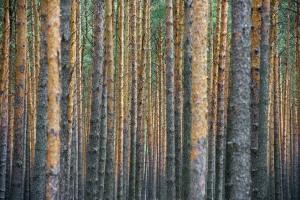 Dicht beieinander stehen nur Kiefernbäume in einem Waldstück unweit dem südbrandenburgischen Peitz (Spree-Neiße), aufgenommen am 05.08.2011. Brandenburg hat eine Waldfläche von 1,09 Millionen Hektar und besitzt somit die drittgrößte Waldfläche Deutschlands. Rund 270.000 Hektar, also ein knappes Drittel, gehören zum Landeswald. Foto: Patrick Pleul dpa/lbn